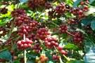 Bubuk kopi murni lenyapkan radang paru paru