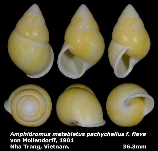Amphidromus metabletus pachycheilus f. flava 36.3mm