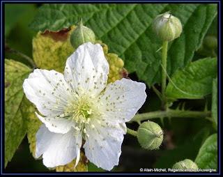 Fleurs de ronce.