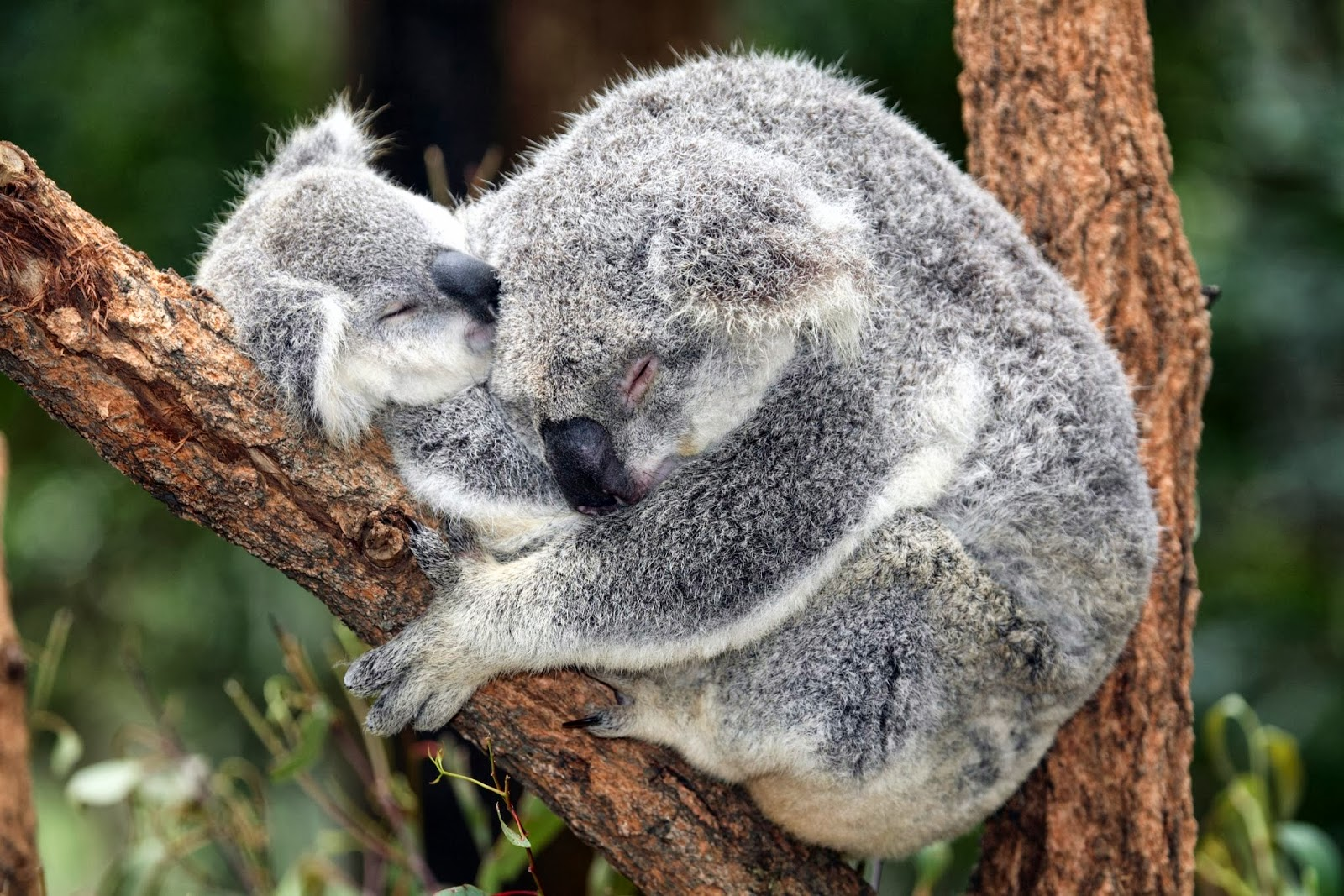 Hd Wallpapers Blog: Koalas Pictures