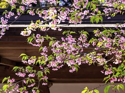 Kawazu-zakura (Japanese cherry) flowers: Engaku-ji