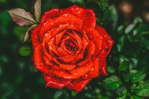50+ Red Rose HD Images Free Download