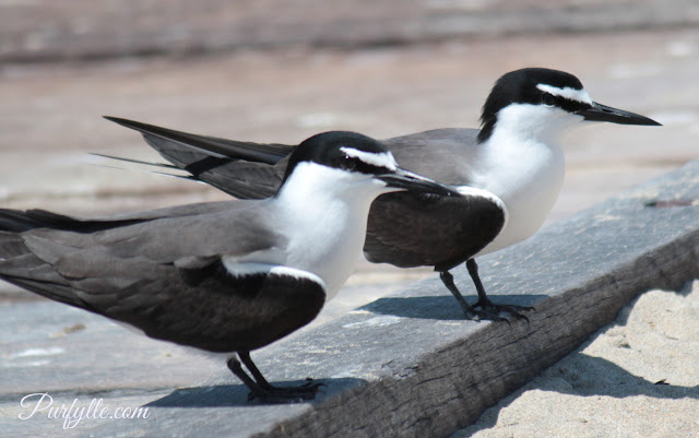 Bridle terns on jetty