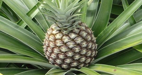 sezonul rece se trateaza ananas