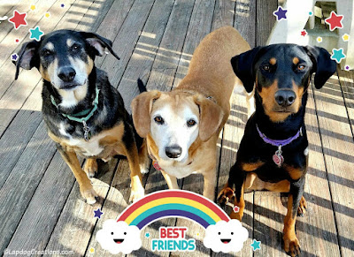 Teutul, Sophie, and Penny = Best Friends #rescuedogs #adoptdontshop #siblinglove #rescueddogs #LapdogCreations ©LapdogCreations