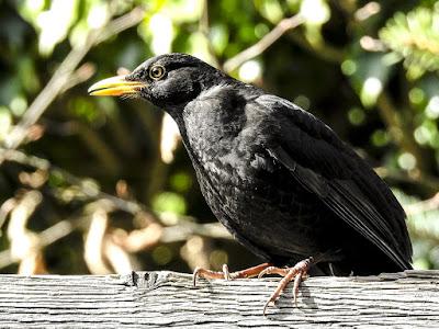 blackbird-has-spoken