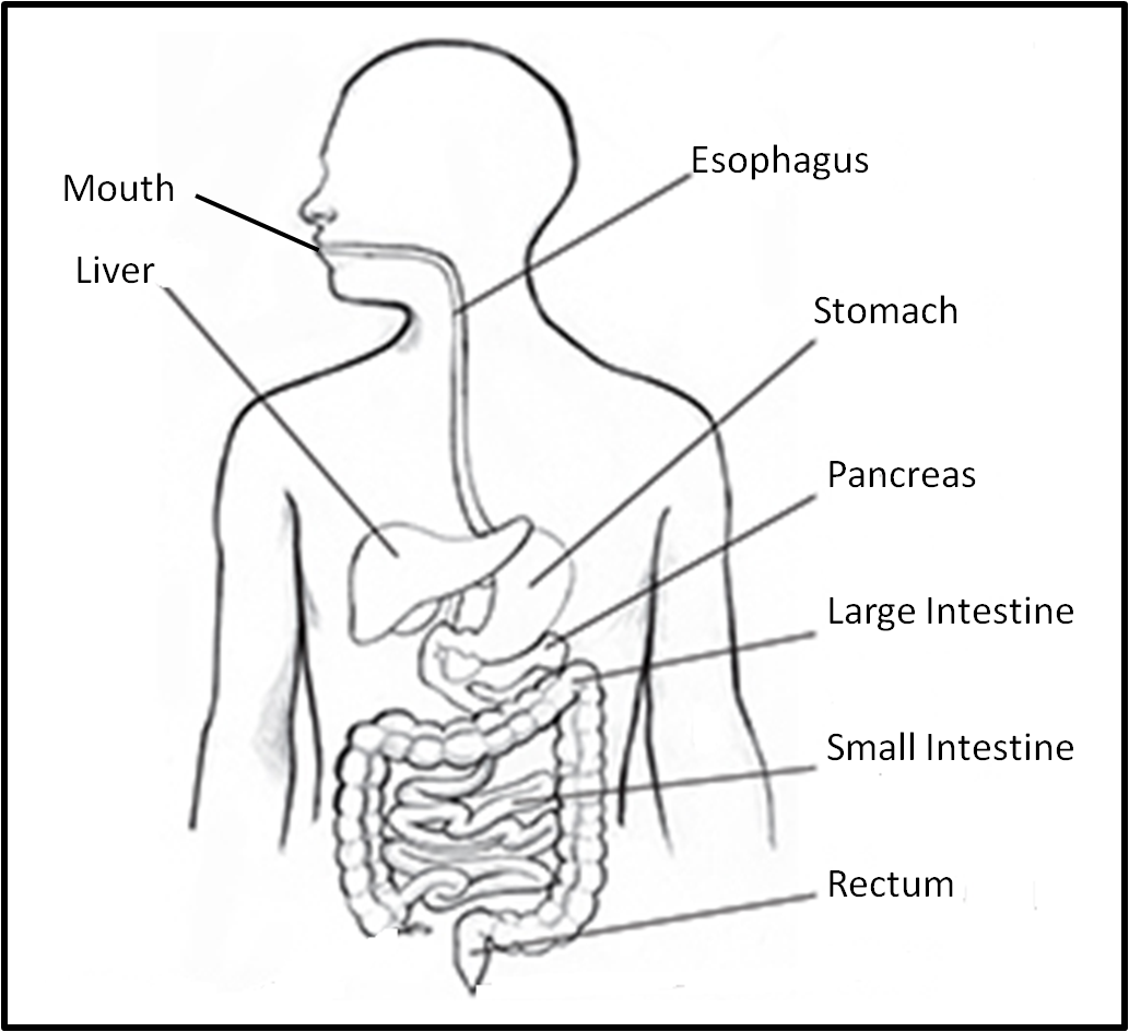 4th Grade Digestive System Diagram 1998 Honda Civic Heater Hose Fpd News And Notes Digestion Manners