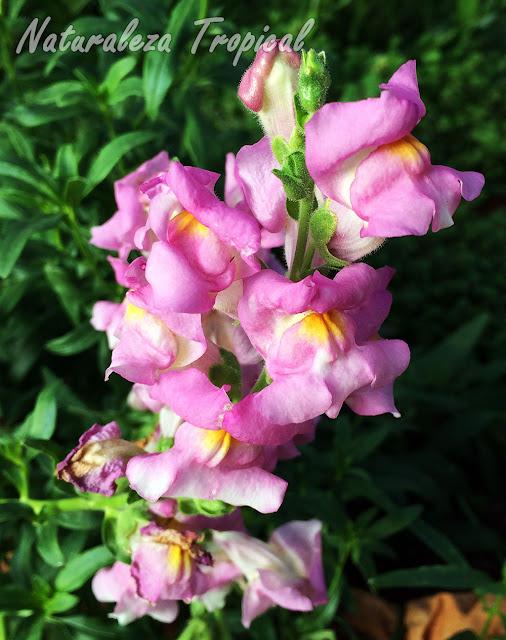 Variedad rosada con centro amarillo de las flores de la planta Boca de Dragón, Antirrhinum majus