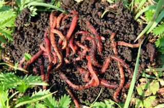 Cara Budidaya Cacing Tanah Lumbricus Rubellus Untuk Pemula