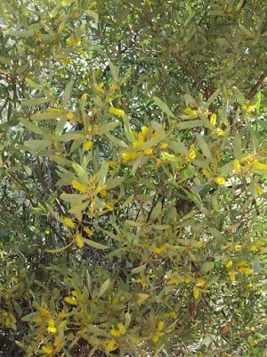 acacia in flower, Alice Springs, Australia