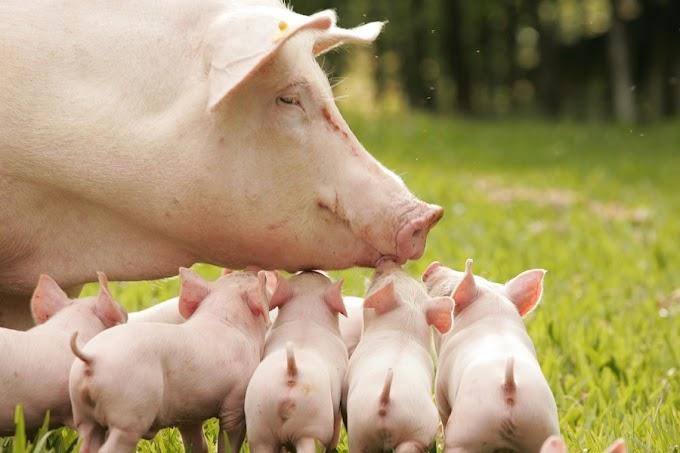 Lenda da Porca e os Sete Leitões