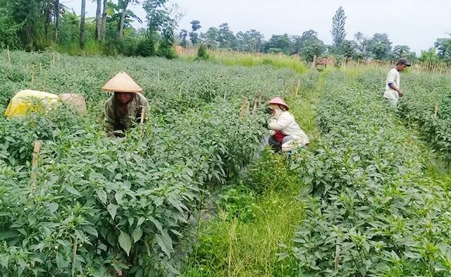 Generasi Muda Tidak Ada Minat Untuk Bertani, Pertanian Terancam Punah