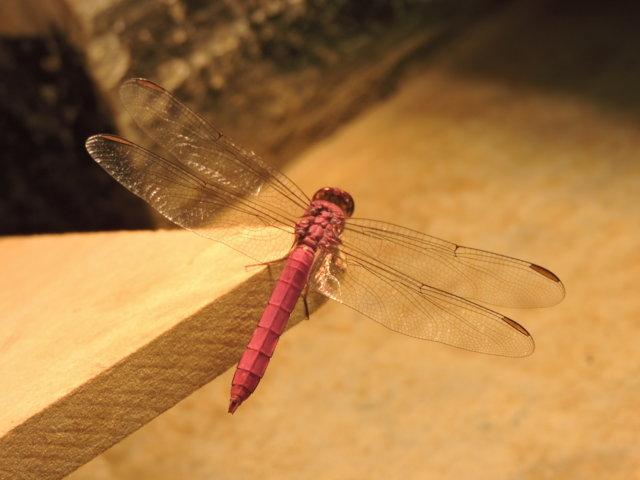 libélula grande y con alas transparentes de color fucsia