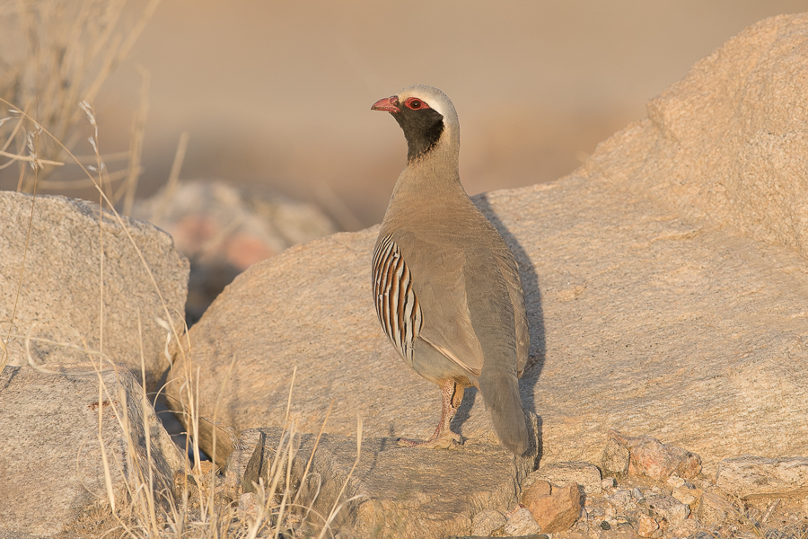 Philby's Partridge – Abha area