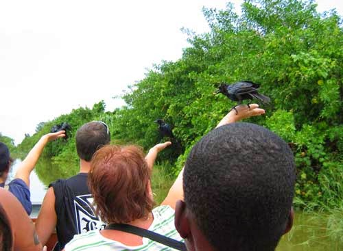 Male boat-tailed grackles.