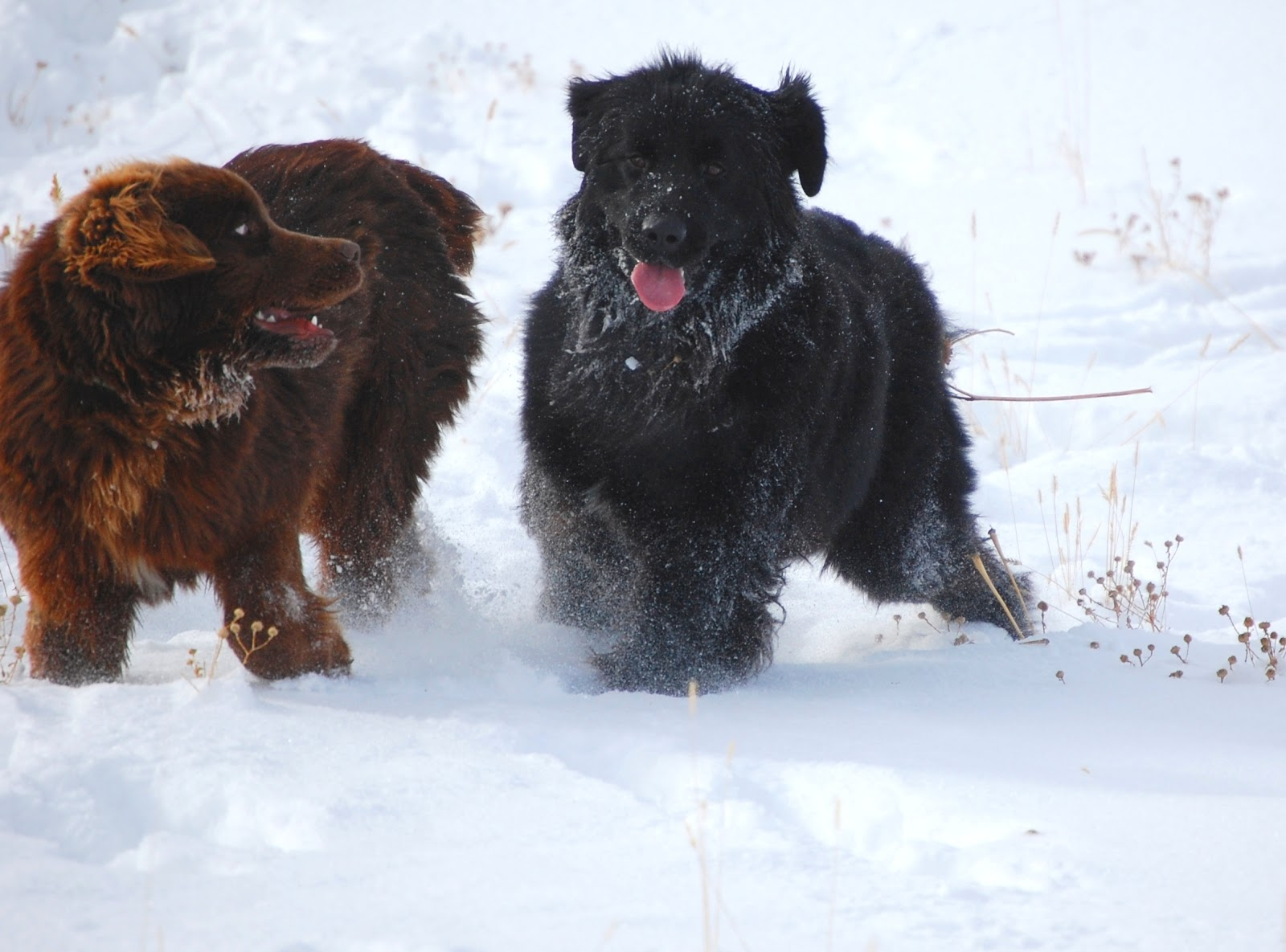 Wasatch Newfoundlands Our Newfies