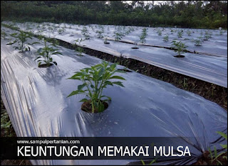 Manfaat dan Keuntungan menggunakan Mulsa