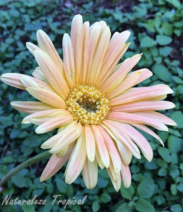 Variedad anaranjada-blanca de la flor Margarita Japonesa, Familia Asteraceae