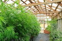 dove-si-produce-marijuana-terapeutica-in-italia