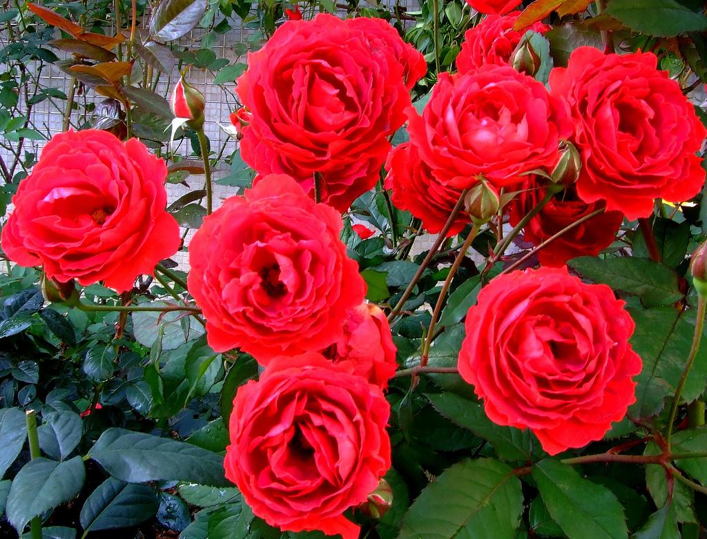 Linda flor vermelha rosa isolado no fundo branco ...  |Rosa Flor Vermelha