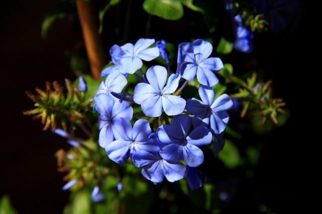 Una decenas de flores formando un balón de color celeste