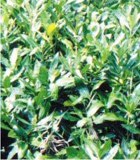 Mengenal Mangrove : Acanthus ebracteatus Vahl