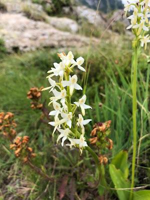 [Orchidaceae] Platanthera bifolia – Lesser Butterfly-Orchid (Platantera comune)