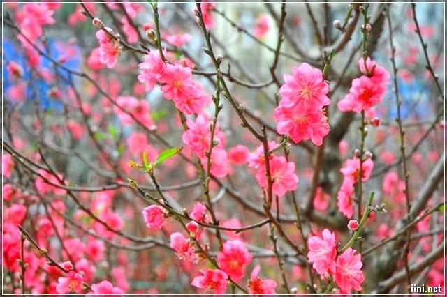 Hoa đào khoe sắc trong ngày Tết