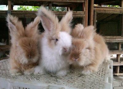 Jenis-jenis kelinci anggora inggris