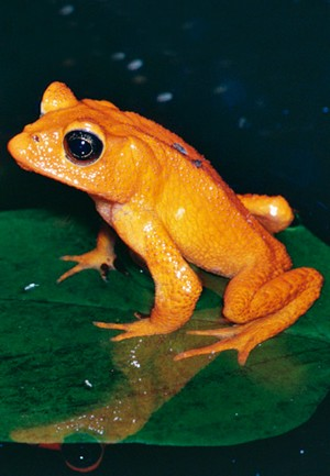 climate change stories the golden toad s tale stories and news