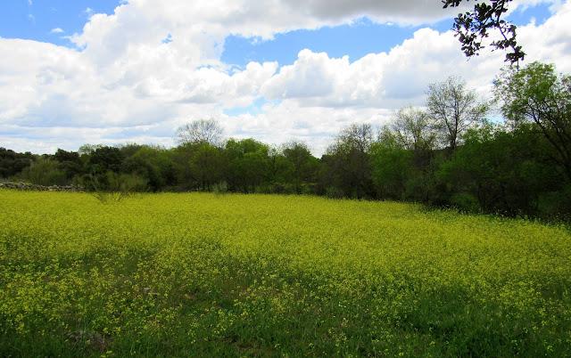 praderas de flores amarillas, campos en primavera, senda de la puente, campos con muchas flores,