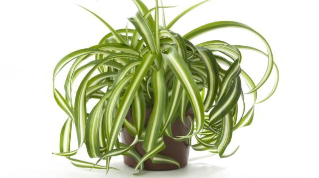 THESE PLANTS ARE OXYGEN BOMBS – HAVE AT LEAST ONE OF THEM TO CLEAN THE AIR AT YOUR HOME