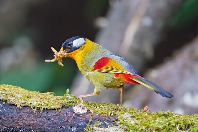 Download Suara Burung Panca Warna untuk Masteran