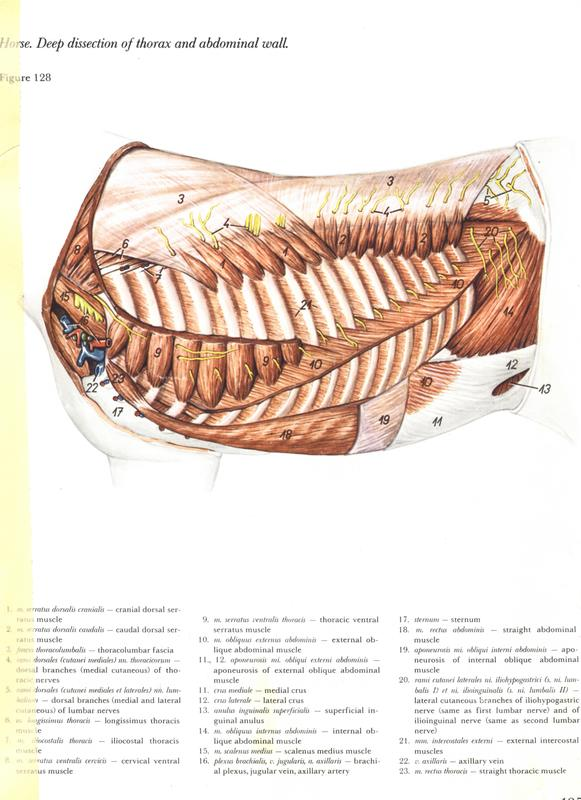 horse-deep-dissection-thorax-abdominal-wall