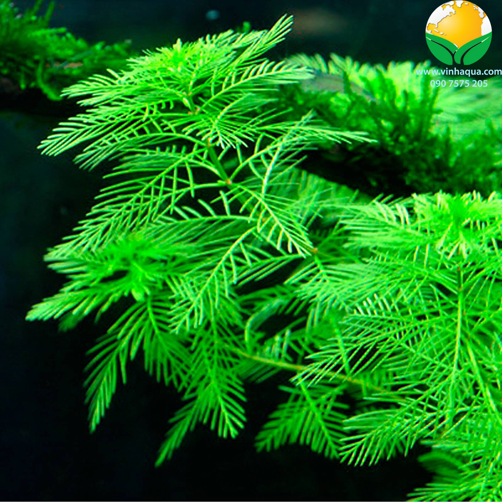 Vẻ đẹp của cây thủy sinh xương cá xanh