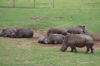 Dehorned Rhinos