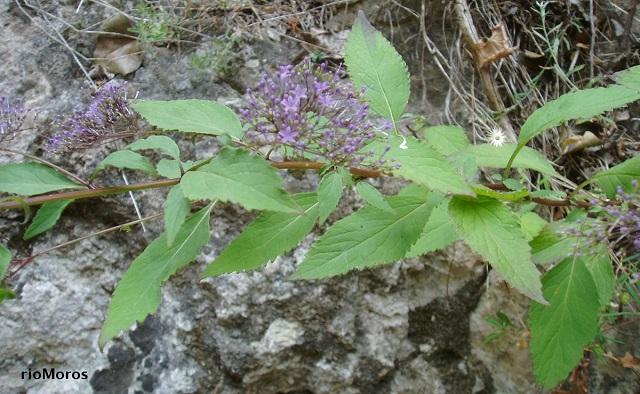Planta Flor de viuda Trachelium caeruleum
