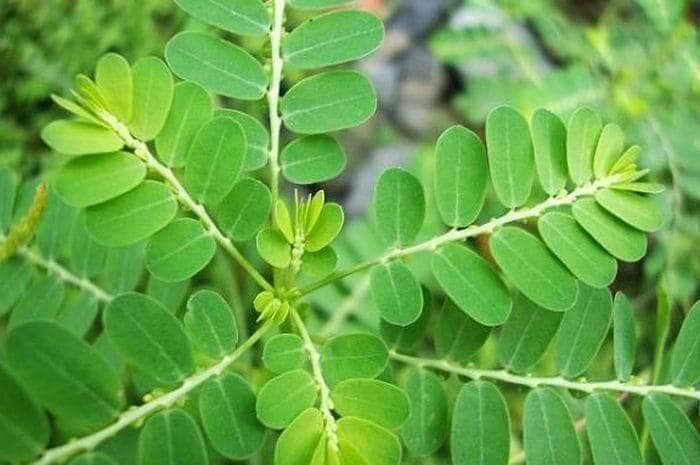 apa itu daun meniran, apa yang dimaksud daun meniran, khasiat tanaman daun meniran untuk kesehatan, apa manfaat daun meniran untuk kesehatan tubuh manusia, efek samping daun meniran, cara mengolah daun meniran, manfaat daun meniran dan efek sampingnya, manfaat daun meniran untuk wajah, makanan meniran, daun meniran merah, apa yang dimaksud phyllanthus niruri, persamaan daun meniran dengan phyllanthus niruri
