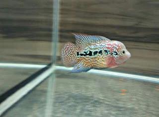 Ikan Louhan Jenis Rainbow King