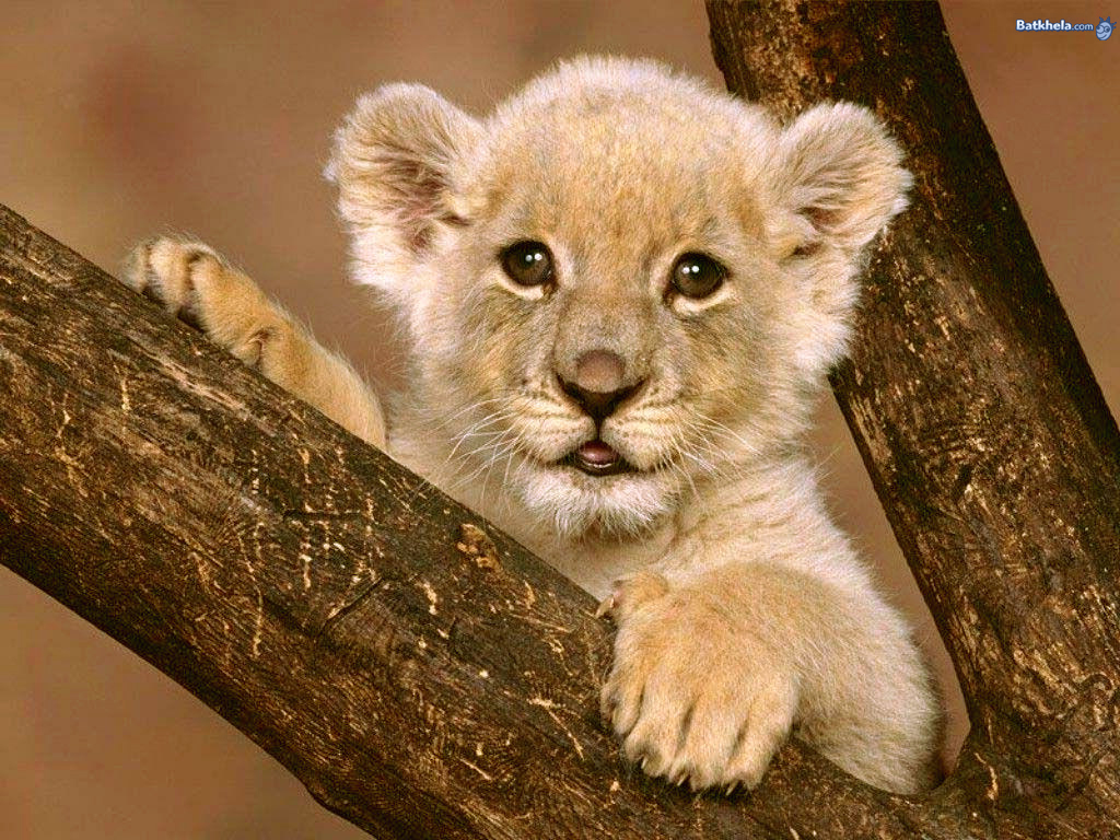 Funny And Cute Baby Wallpapers Big Cats Funny Animal