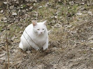 Chat blanc - Animal de compagnie