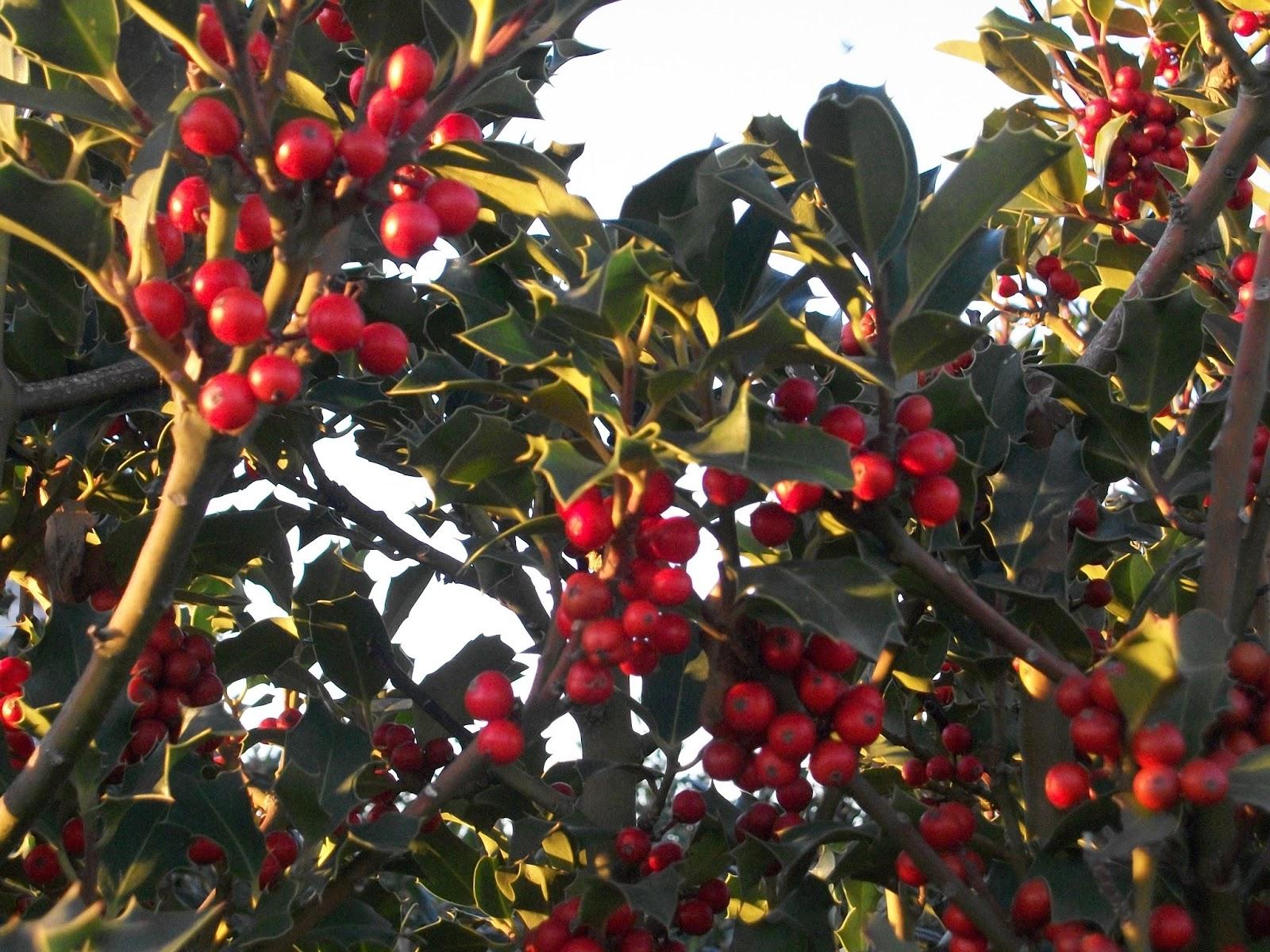 Vivaio Margine Rosso : Donna di piante: piante delle feste: lagrifoglio