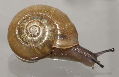 caracol disco canibal Haplotrema concavum