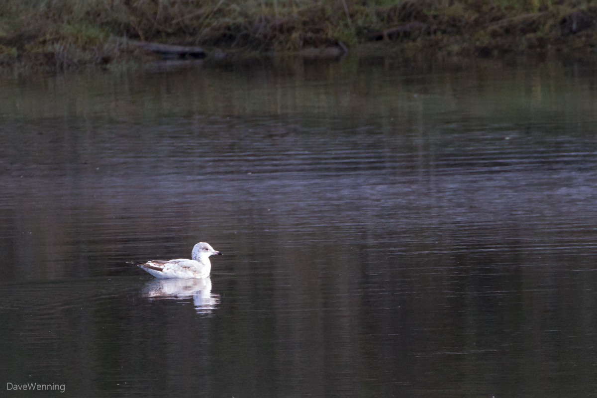 Unknown Gull in the Kukutali Pocket Estuary