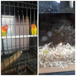 cara meningkatkan produksi telur lovebird