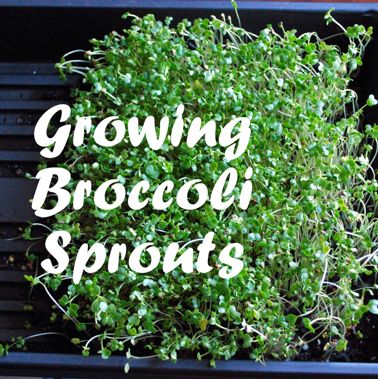 Sprouting broccoli for fast, nutritious food.