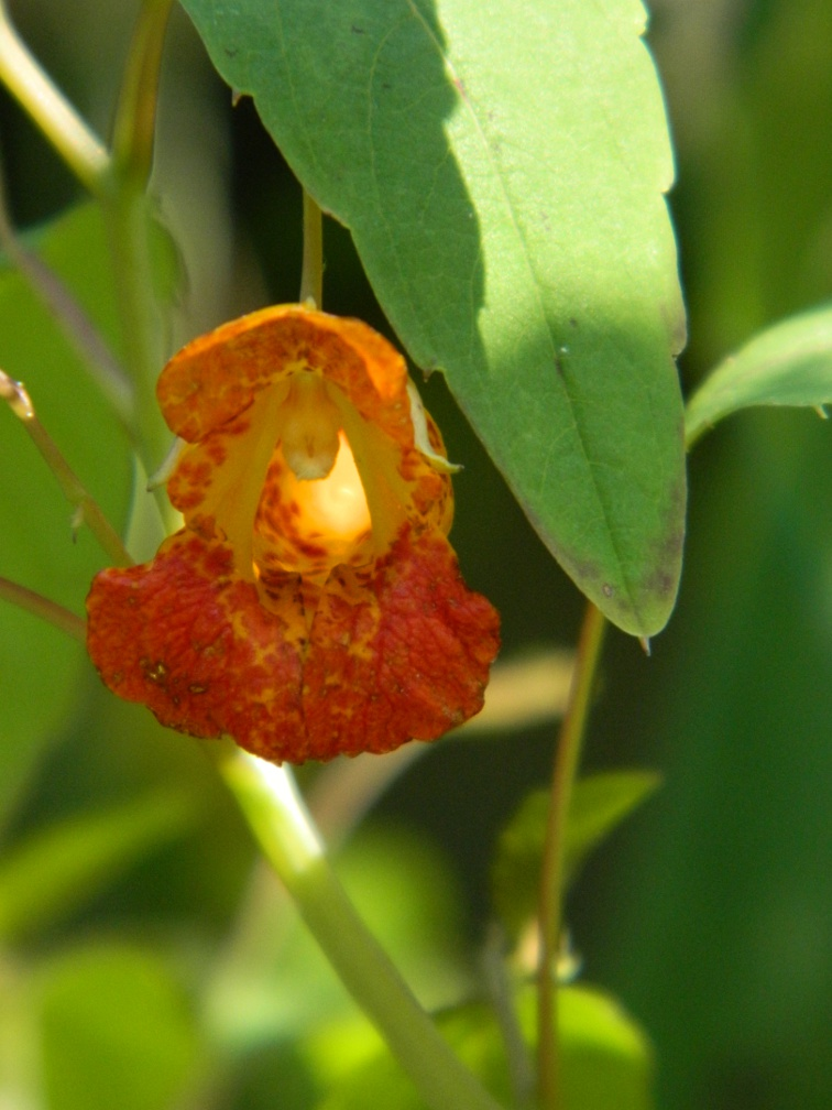 Spotted jewelweed Impatiens capensis ecological gardening by garden muses-a Toronto gardening blog