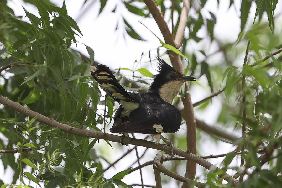 Seven Pied Cuckoos – Sabya area
