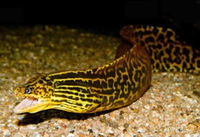 Belut Ikan Predator Air Tawar Tipe Bawah