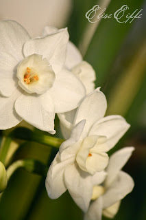 Jonquils - White flowers